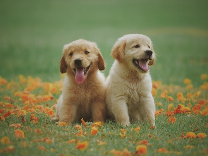 two labrador retrievers in a field